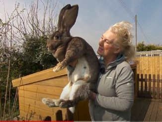 Darius the world's biggest rabbit, stolen