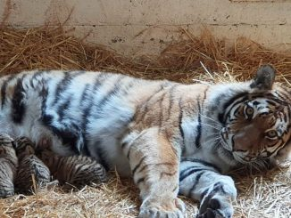Highland Wildlife Park welcomes three Amur tiger cubs