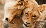 South Africa: stop to the breeding of lions
