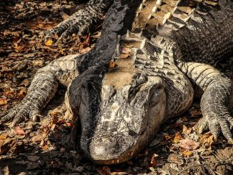 250 alligators removed from Disney World since boy was killed
