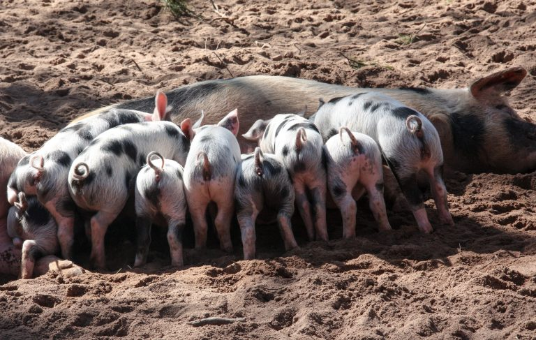 Prime Minister not taken thoughtfully pig cull threat